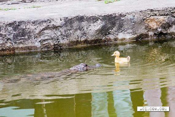 Crocodile vs. Duckling (3 pics)