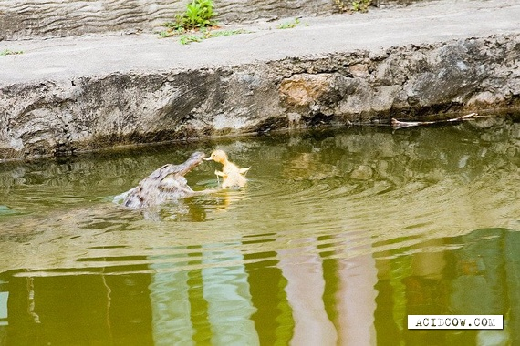 Crocodile vs. Duckling (3 pics)