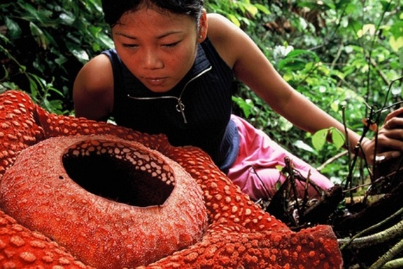 Rafflesia (17 pics)