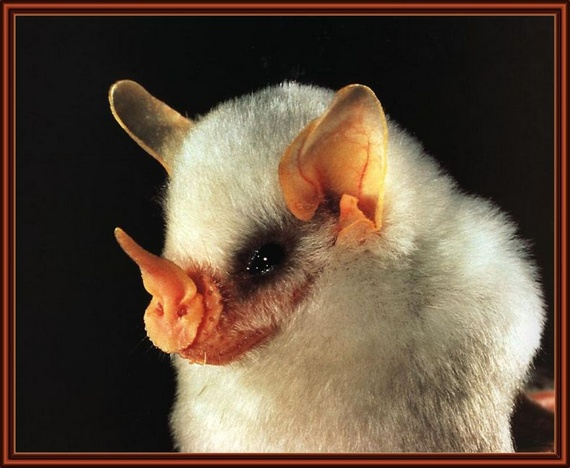 Honduran white bat (9 pics)