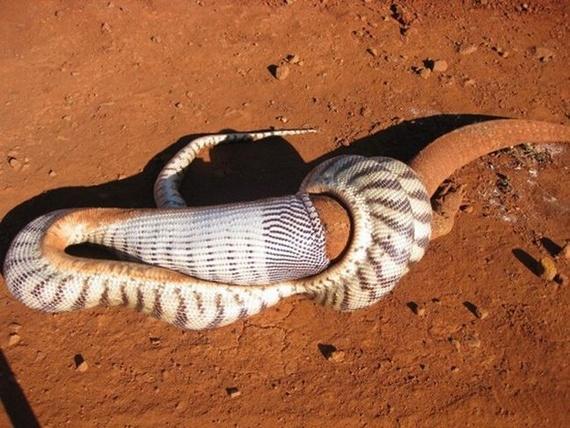 Snake eating a goanna (11 pics)
