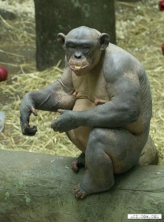 The Bald Chimpanzee (7 pics)