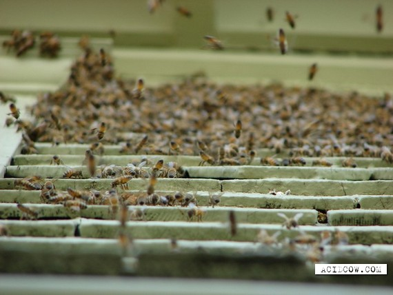 Bees attack (6 pics)