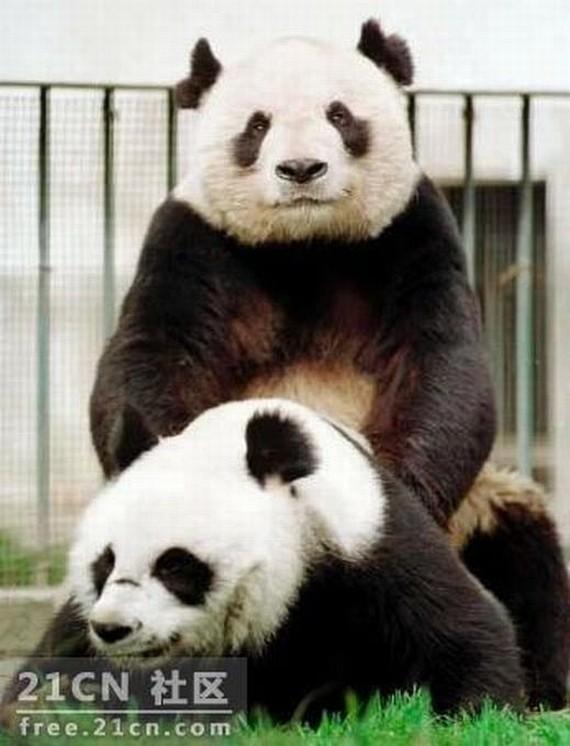 """Panda """"Porn"""" (6 pics)"""