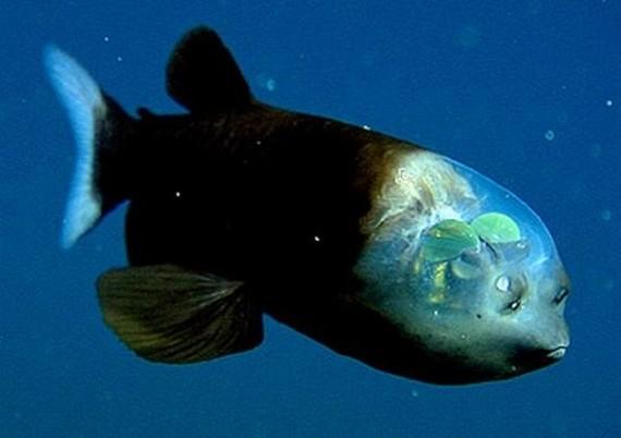 Fish With Transparent Head (11 pics)