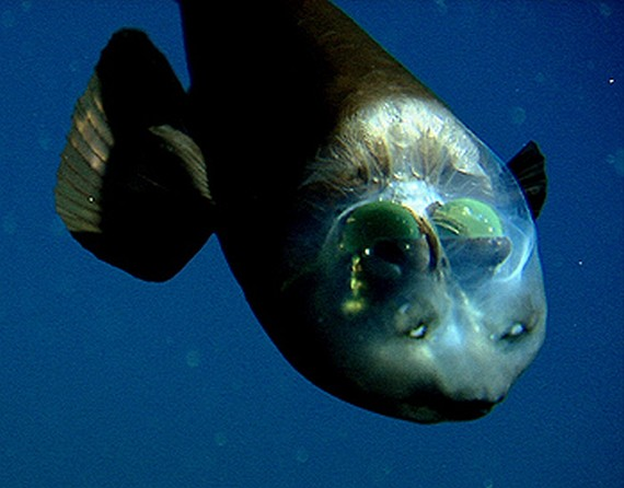 Fish With Transparent Head (11 pics)