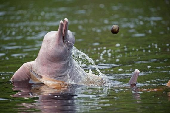 Amazon River Dolphin (11 pics)