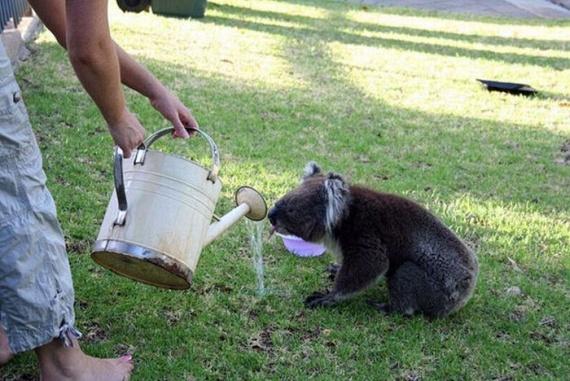 Funny Koalas (21 pics)