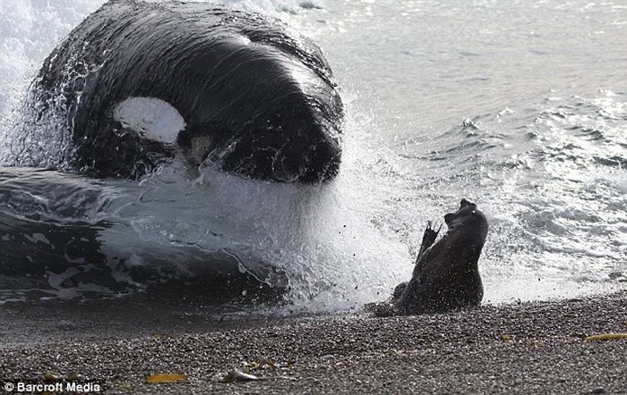 Seal escapes killer whale (4 pics)