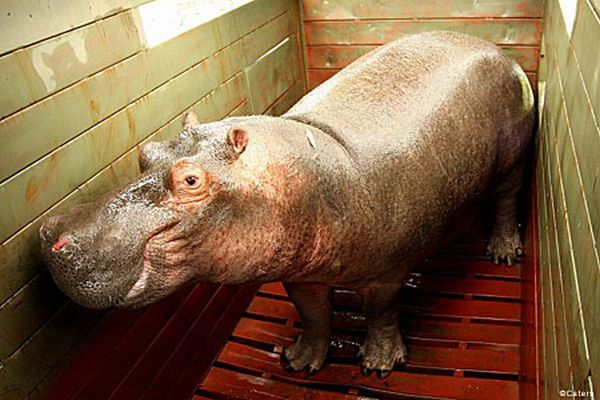 Happy rescue of a hippo (3 pics)