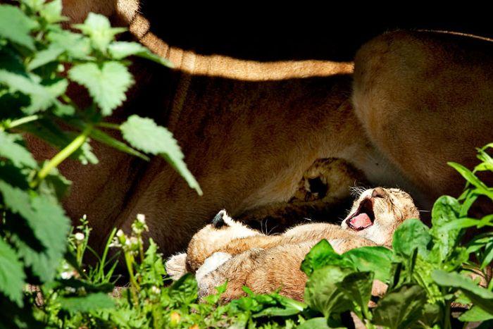 Yawning animals (23 pics)