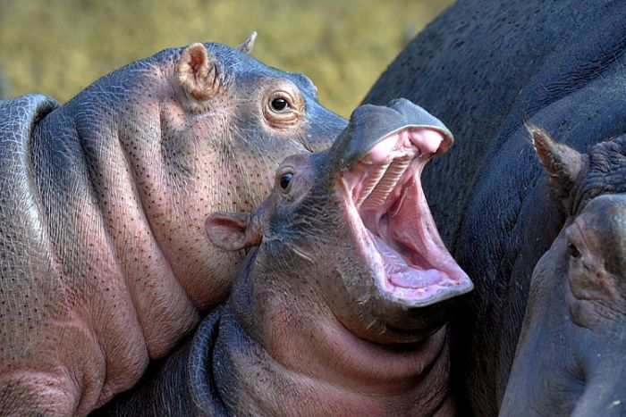 Yawning animals (23 pics)