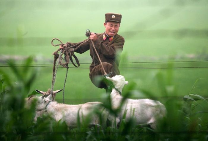 It sucks to be a goat in North Korea (3 pics)