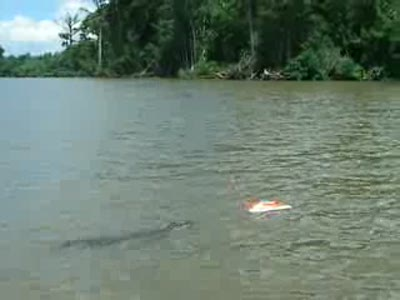 Alligator chases RC boat