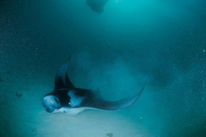 Manta Rays (11 pics)