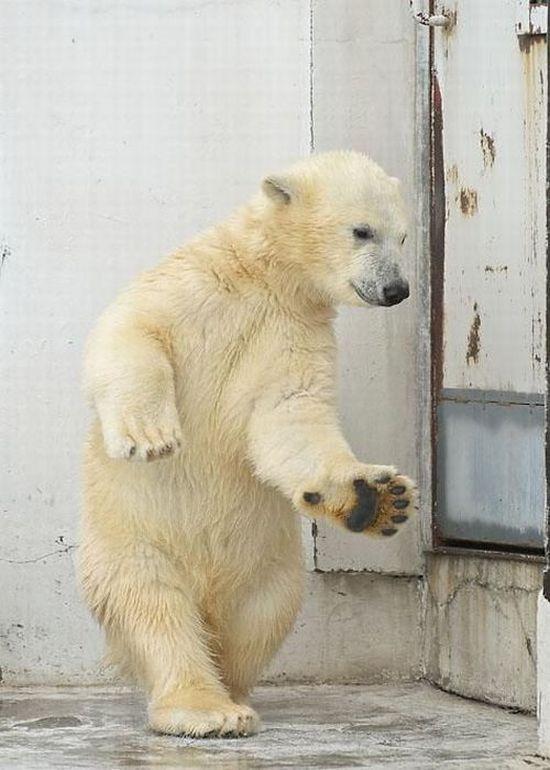 Dancing polar bear  (4 pics)