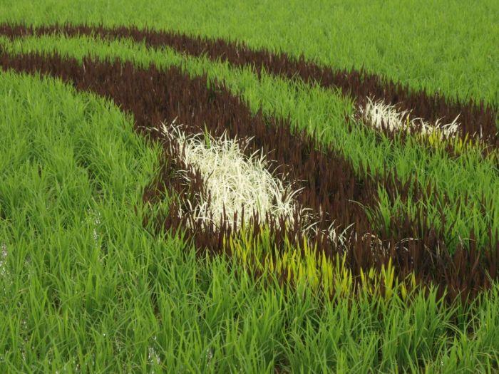 Crop circles? No. Crop paintings! (13 pics)