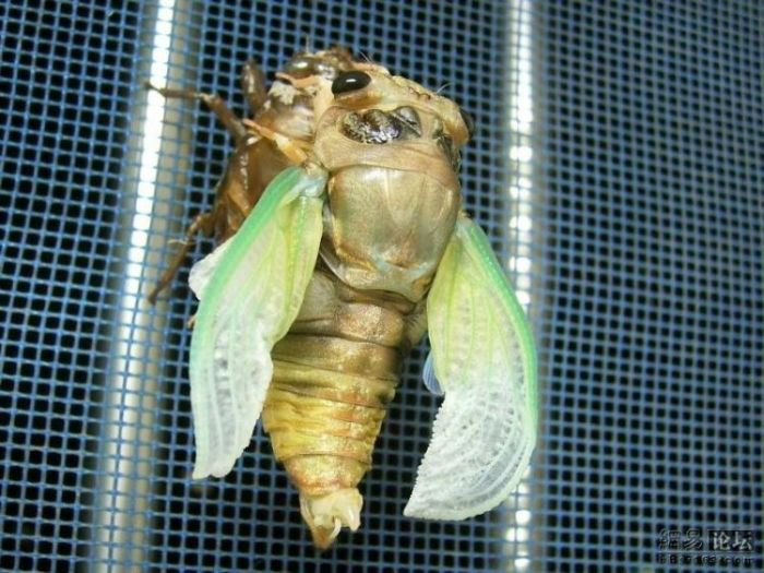 Transformation of a cicada (11 pics)