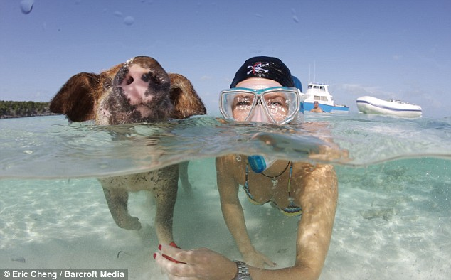 Caribbean Pigs (4 pics)