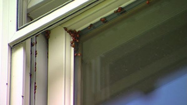 Ladybugs occupy a city in Colorado  (29 pics)