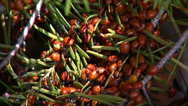 Ladybugs occupy a city in Colorado  (29 pics)