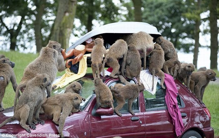 Smart Baboons (6 pics)