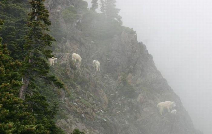 Goats on Rocks (5 pics)