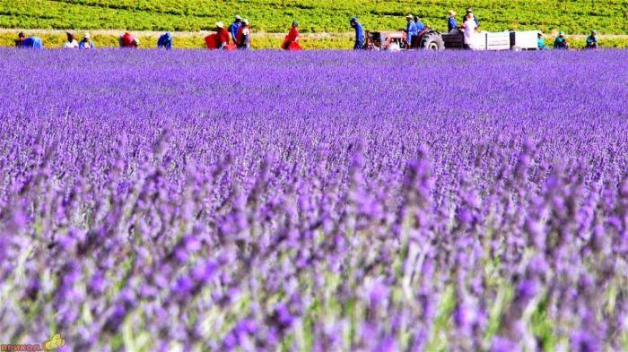 Beautiful lavender fields (13 pics)
