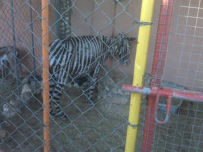 The one and only zebra in Gaza (4 pics)