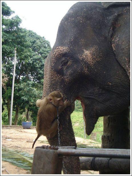 Monkey feeding elephant (7 pics)