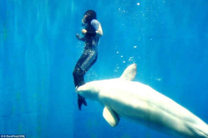 Mila the Beluga whale saves a diver (3 pics)