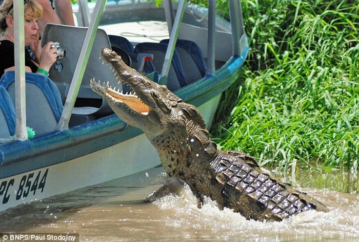 Crocodile likes being photographed (3 pics)