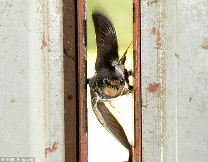 Swallow  flies in two-inch gap at 35mph (4 pics)