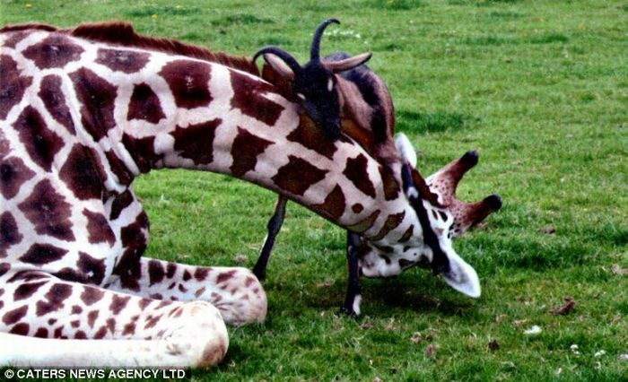 Giraffe and a goat are best friends (3 pics)