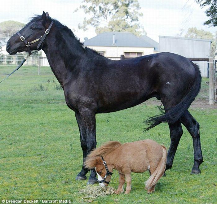 Cute miniature horses - photo#2