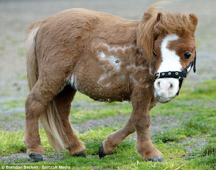 Cute miniature horse (4 pics)