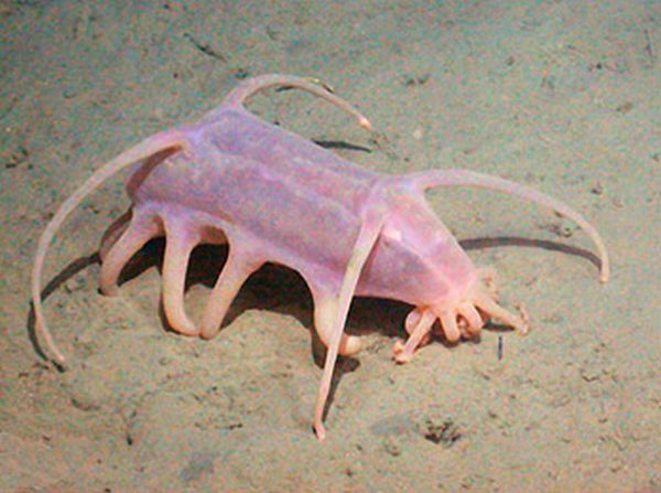 Sea pigs - one of the ugliest creatures on the planet (8 pics)
