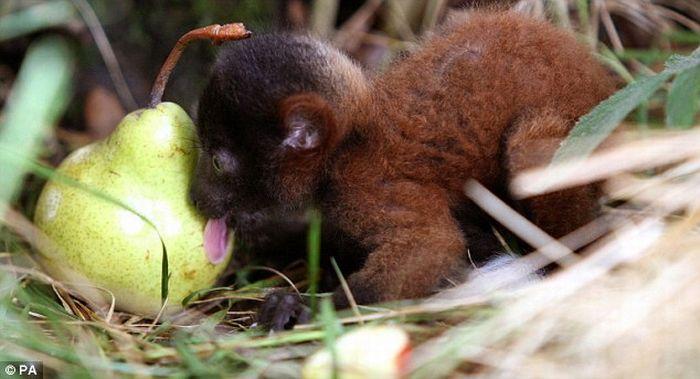 Baby Lemur Eats a Pear (6 pics)
