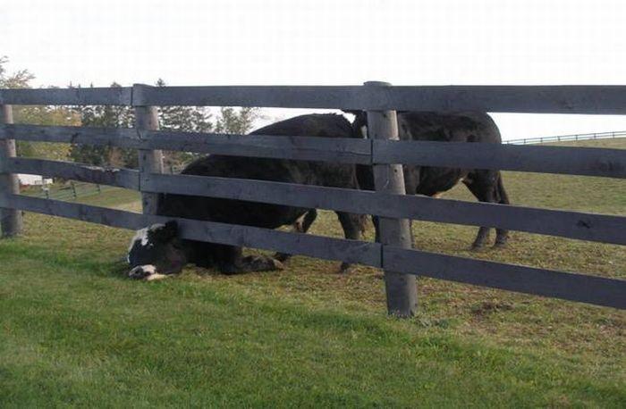Stuck animals (35 pics)