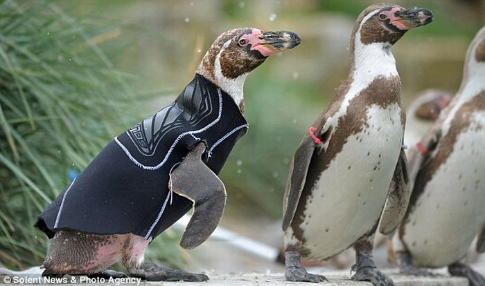 Featherless penguin and his new suit (4 pics)