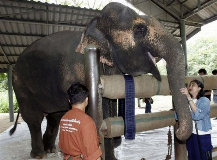 Artificial leg for an elephant (13 pics)