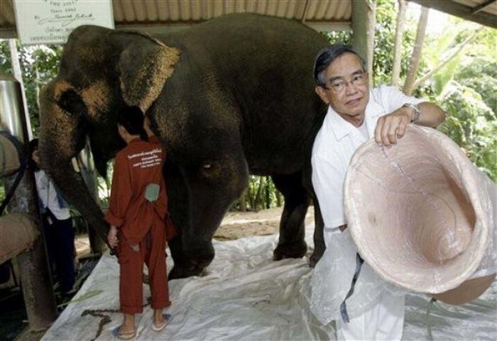 Artificial leg for an elephant (13 pics)