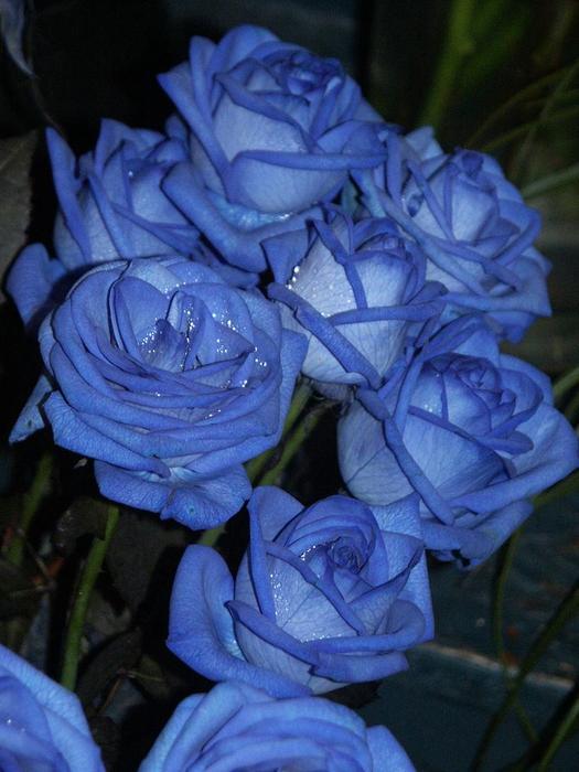 blue roses 24 pics. Black Bedroom Furniture Sets. Home Design Ideas