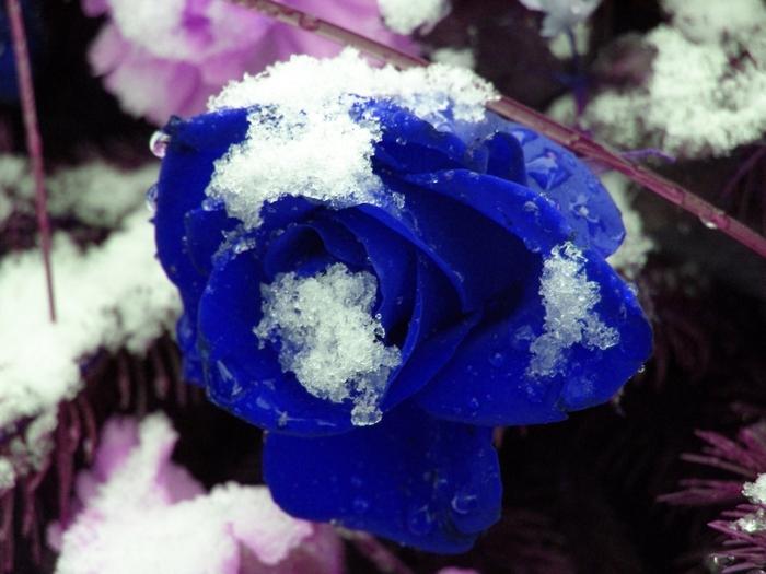 Blue Roses (24 pics)