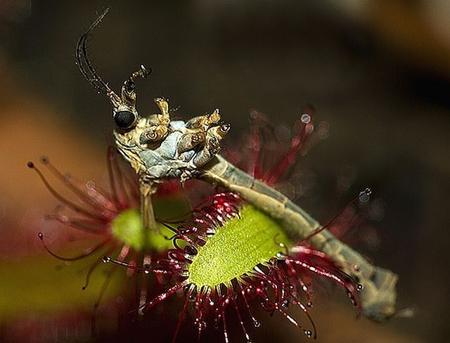 Plants that eat insects and even animals (45 pics)