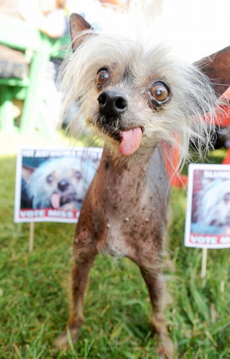 The ugliest dogs on the planet  (11 pics)