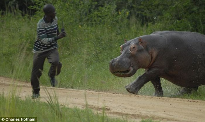 Angry hippo chases a man  (4 pics)