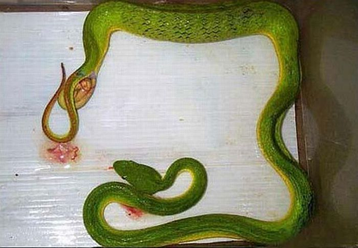 How do snakes give birth? (4 pics)
