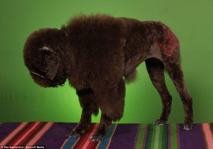 It sucks to be a poodle (8 pics)