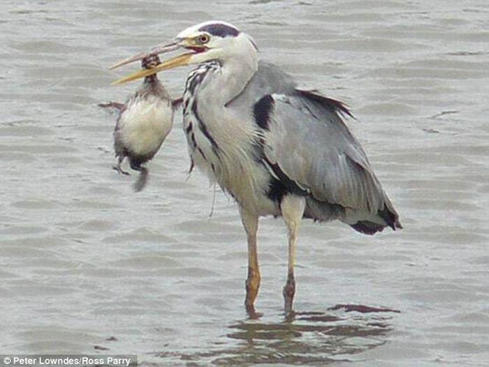 Heron eats a baby coon (4 pics)